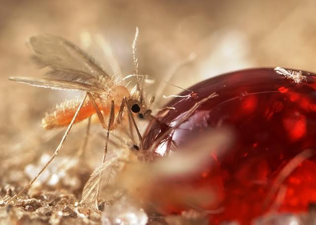 בתמונה: זבוב חול ניזון מטיפת סוכר. צילום: אורן בר, המשרד להגנת הסביבה.