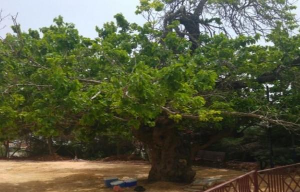 """נראה טוב לגילו: עץ בן 100 במטולה זכה לטיפול קוסמטי ע""""י קק""""ל"""