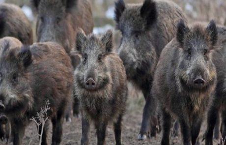 עיריית צפת נלחמת בתופעת חזירי הבר המשוטטים