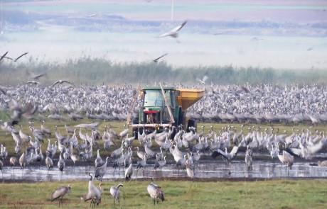 בתיאבון: באגמון החולה מאכילים מעל 42 אלף עגורים